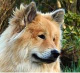 rot-falben mit Fuchsmaske